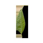 Leaf-4-90¯-G19-150px